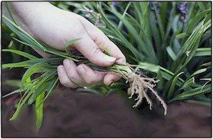 pulling-weeds